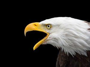Southwest Florida Eagle