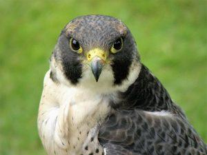 Great Spirit Bluff Falcons