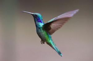 Bella Hummingbird Live Cam