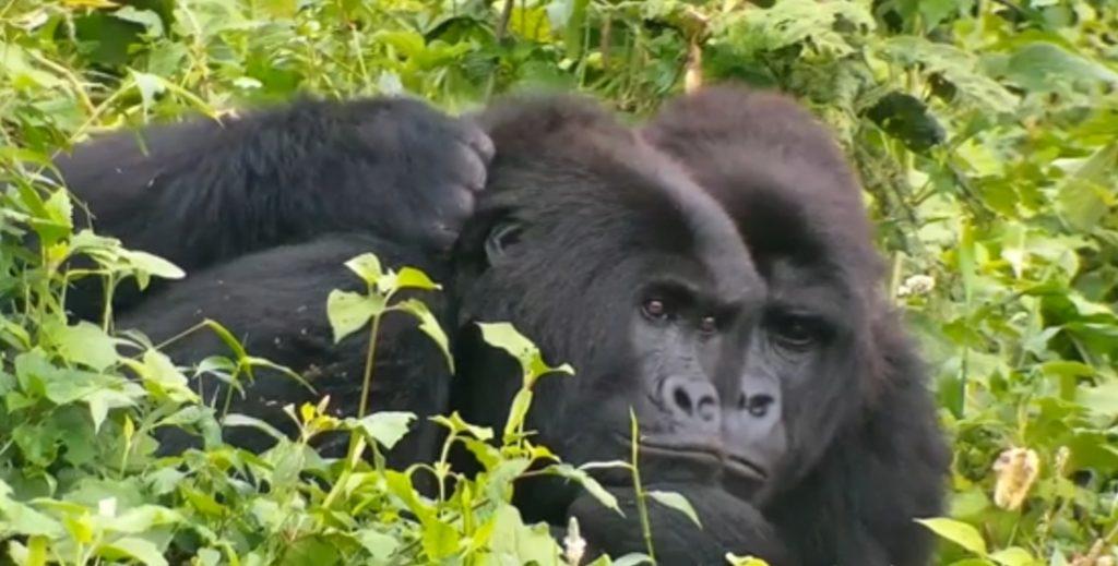 gorilla chimp video