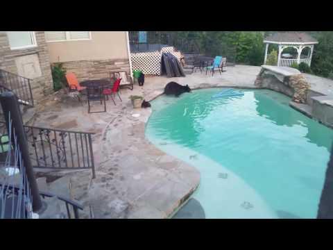 bear at the pool